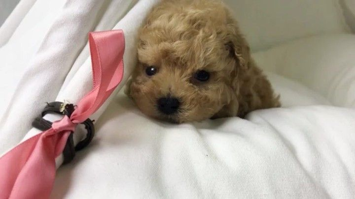 Pin By Brittany L On Doggies Toy Poodle Puppy Puppies Cute Puppies