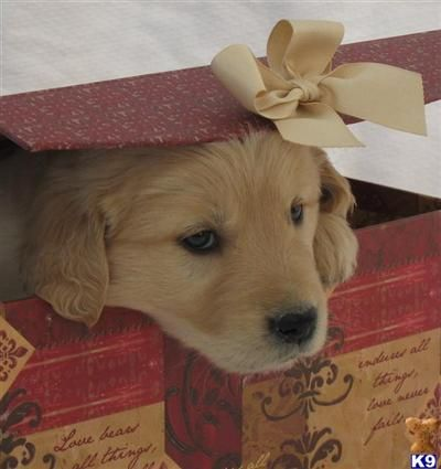 Golden retriever puppy--precioussss