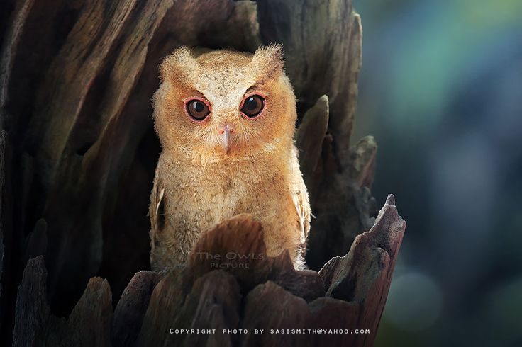 Extremely Cute Owl Photos by Sasi Smith