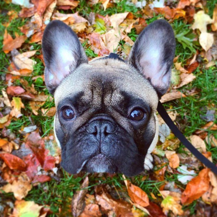 Archer, the French Bulldog Puppy