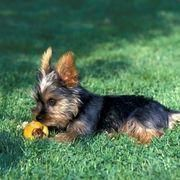 How To Potty Train A Yorkshire Terrier Puppy Ehow