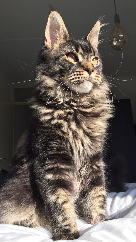 Are Male Calico Cats