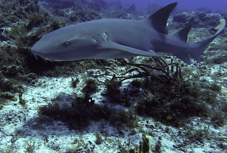 Nurse shark in Cozumel