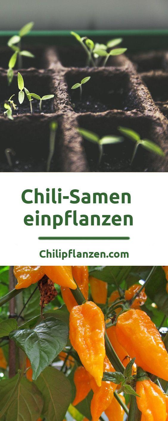 Chilisamen zum Einpflanzen bekommen Sie in Gartencentern, Onlineshops und sogar aus frischen Chilischoten. Diese Samen fangen schon nach wenigen Tagen an zu keimen, sobald Sie diese in Erde pflanzen. Wichtig ist ein feucht, warmes Klima.