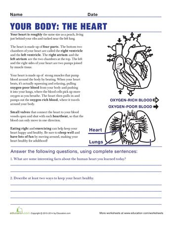 understanding the human body 5th grade worksheets health anatomy and p e. Black Bedroom Furniture Sets. Home Design Ideas
