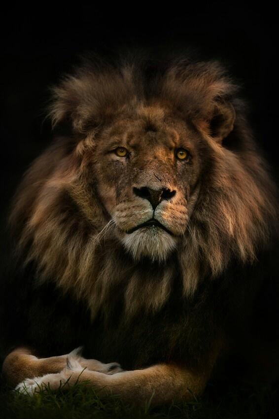 1267 best lions  u0026 lioness images on pinterest
