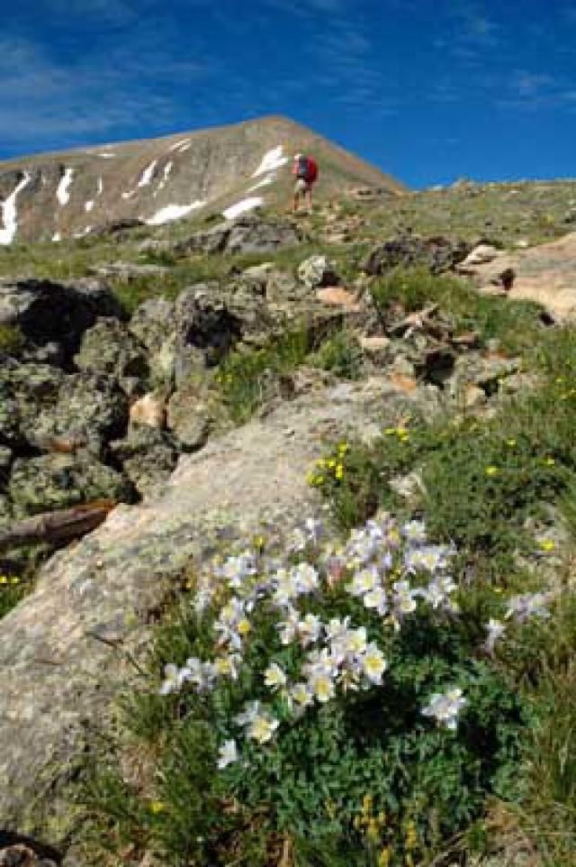All About Mount Elbert: Colorado's Highest Mountain: A mountain climber passes a clump of columbines, the Colorado state flower, on the Mount Elbert Trail.