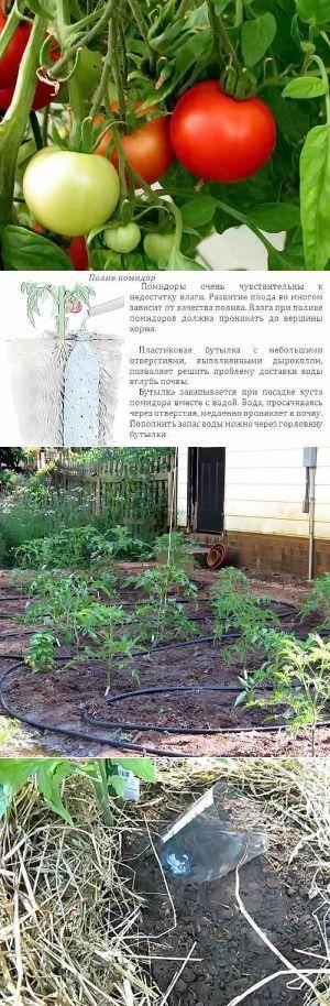 Правила полива томатов | Дача - впрок | Сад и огород | Постила