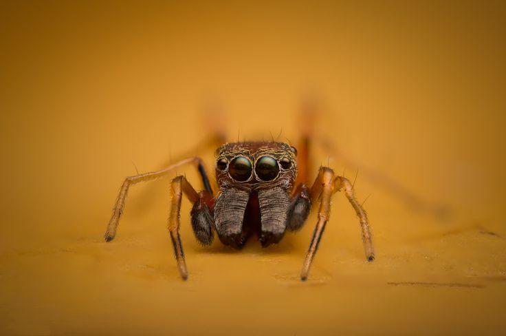 First time I come across a Salticidae - Myrmarachne (male) Ant mimicry