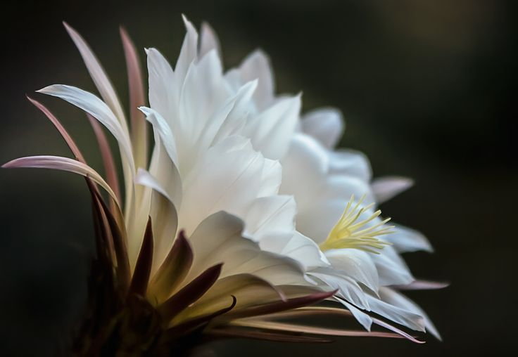 Cactus Flower by Valentino Villa on 500px