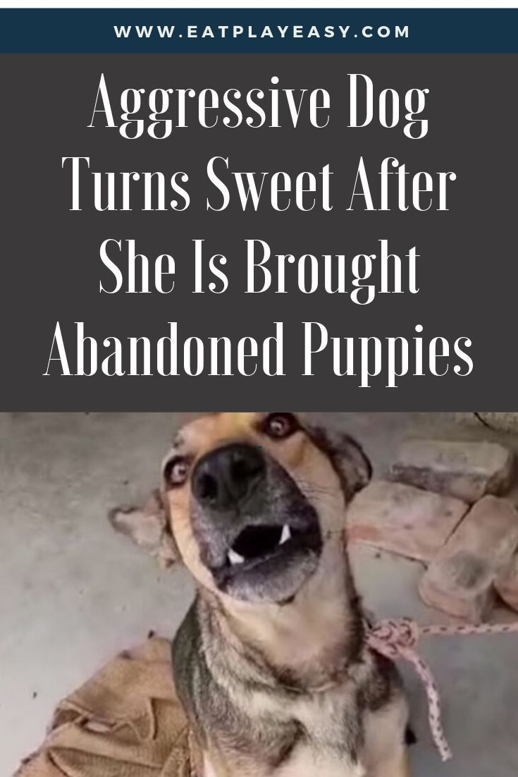 Aggressive Dog Turns Sweet After She Is Brought Abandoned Puppies