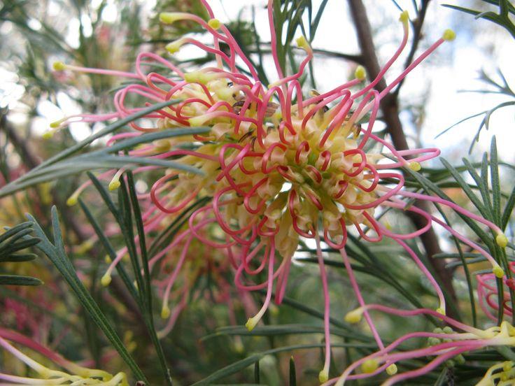 """Grevillea """"Peaches and Cream"""" #native #flora #australian #garden"""