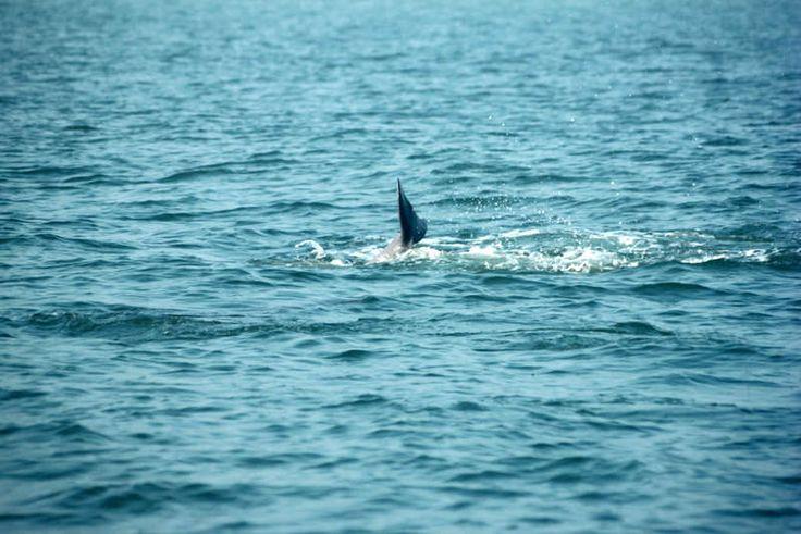 https://flic.kr/p/ESLX1U | Indian dolphins | Dolphins off the coast of Goa