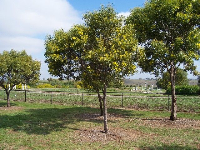 Golden wattle for seed. Also screen, windbreak, nitrogen