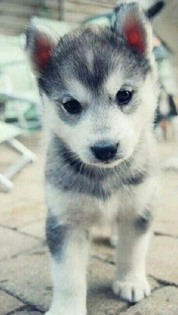 Perfect Pomsky (: