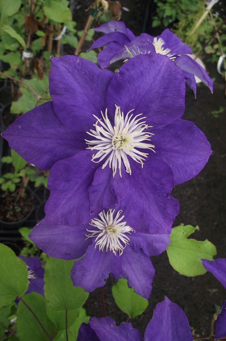 Clematis Kingfisher has bold blue-purple flowers from May to September.  Growing to 2.5m it makes a lovely spread on a wall.  Minimal pruning.