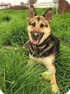 Tracy, CA - German Shepherd Dog. Meet Mercy, a dog for adoption. http://www.adoptapet.com/pet/18033807-tracy-california-german-shepherd-dog