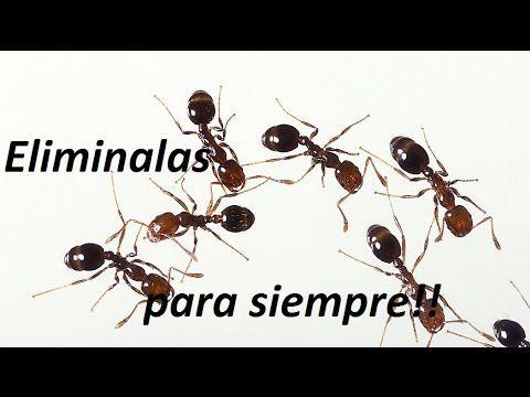 Eliminación definitiva de las hormigas en casa!!