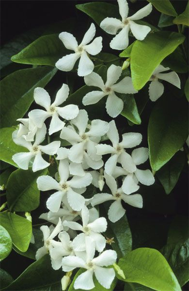I said I would plant star jasmine outside the lanai (screened patio for the northerners) when I bought a home. Didn't know I already had a large bush growing outside my bedroom window. Guess it was meant to be.