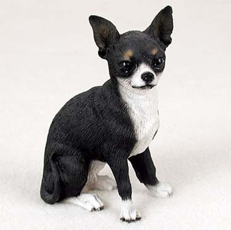 This lovely little Chihuahua pup is 5. Description from ebay.com. I searched for this on bing.com/images