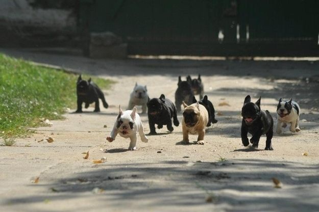 A Frenchie stampede!