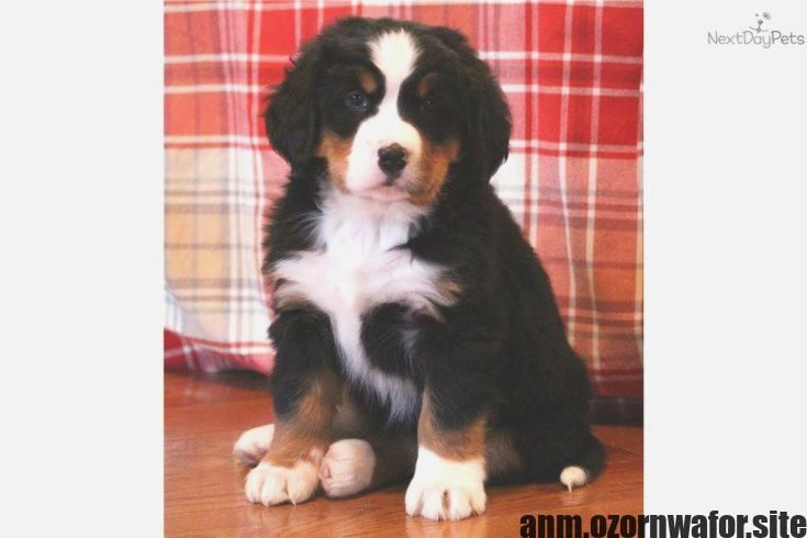 Latest Cost Free Bernese Mountain Dogs For Sale Suggestions