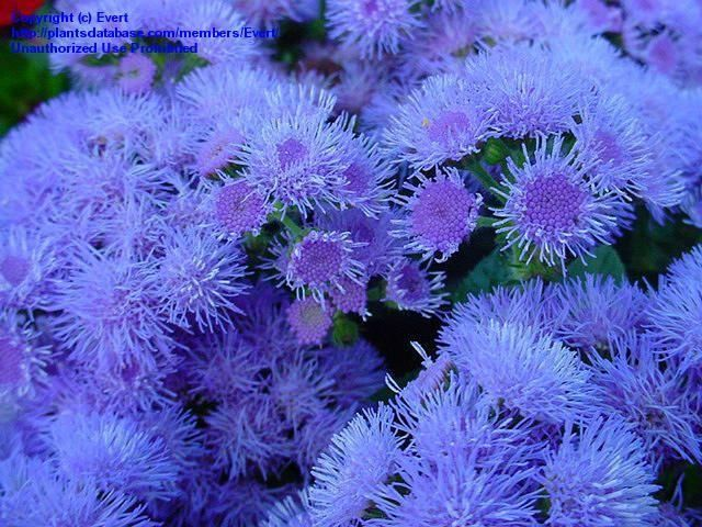 Full Size Picture Of Floss Flower Ageratum Ageratum Houstonianum Annual Plants Plants Flowers