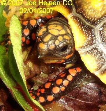 Redfoot Tortoise Diet