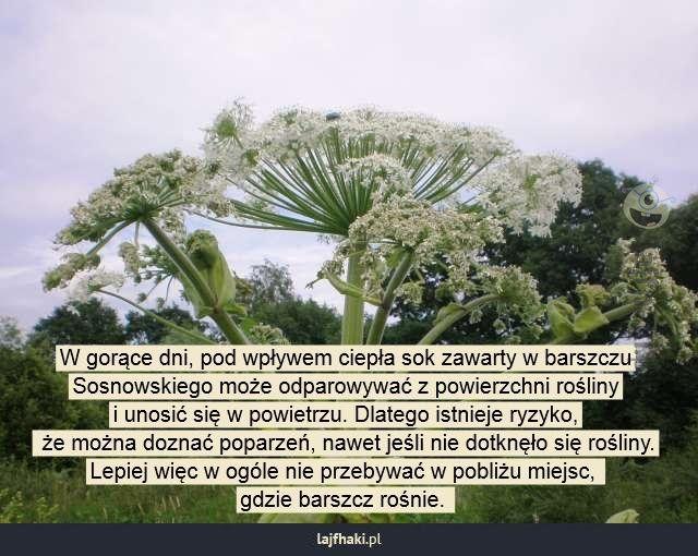 Uwaga na barszcz Sosnowskiego - W gorące dni, pod wpływem ciepła sok zawarty w barszczu Sosnowskiego może odparowywać z powierzchni rośliny i unosić się w powietrzu. Dlatego istnieje ryzyko,  że można doznać poparzeń, nawet jeśli nie dotknęło się rośliny. Lepiej więc w ogóle nie przebywać w pobliżu miejsc,  gdzie barszcz rośnie.