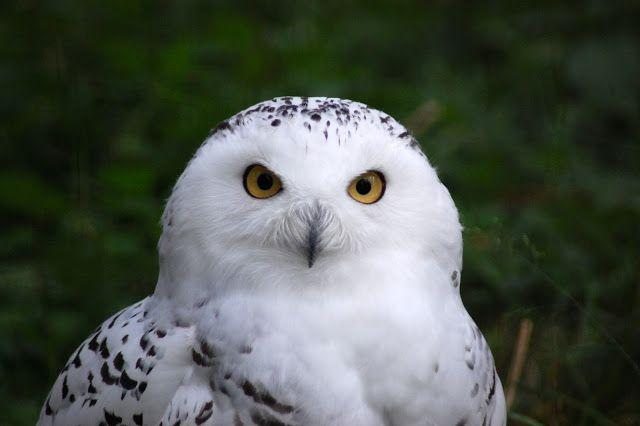 Jemina Staalon multimediavakka: pöllö, tunturipöllö