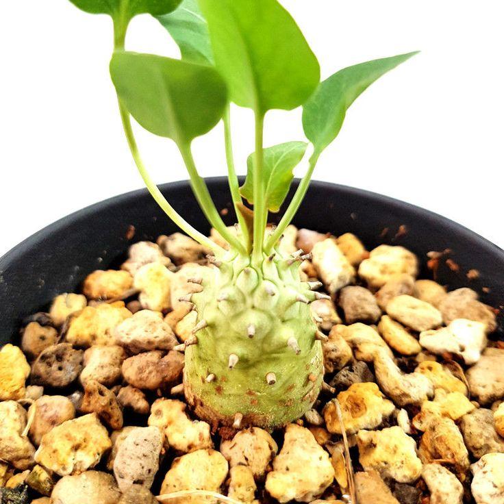EUPHORBIA GLOBULICAULIS FOR SALE EXOTIC SUCCULENTS CAUDEX PLANTS BONSAI COLLECTI   eBay