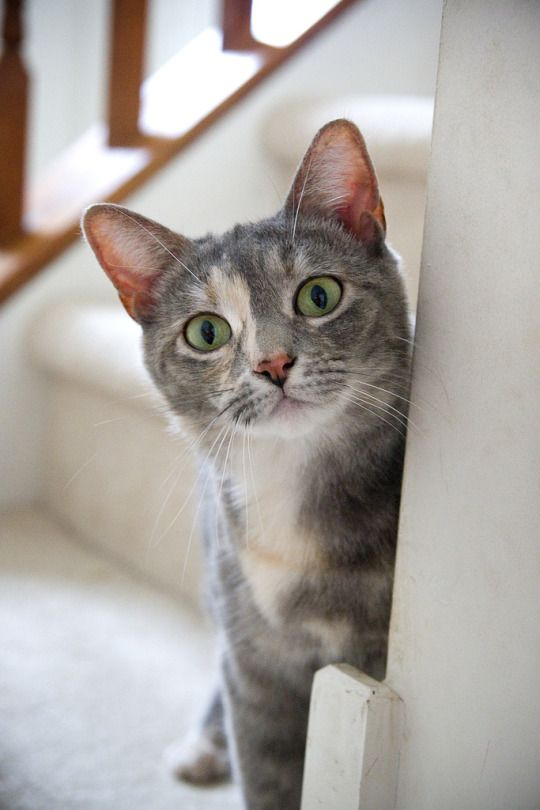 Best 25+ Dilute tortie ideas on Pinterest | Pretty cats ... | 540 x 810 jpeg 45kB