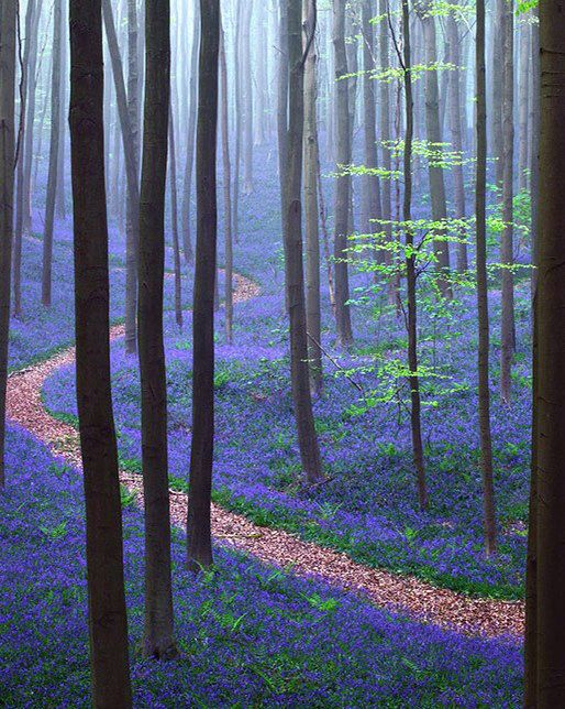 Spring In Hallerbos Forest, Belgium