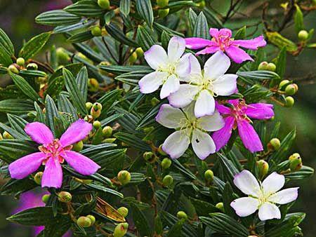 Já o manacá-da-serra é uma árvore característica da Mata Atlântica e possui flores tipicamente brasileiras. Essa árvore pode atingir mais de 10 metros de altura e dá origem a flores roxas e delicadas, encantando e embelezando qualquer ambiente. Curiosamente, as flores nascem na cor branca e só a partir daí é que vão ganhando o tom progressivamente mais arroxeado. A floração ocorre do meio da primavera até o final do verão.