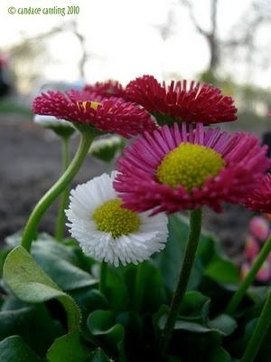 These English Daisies are easy to grow perennials. They have the cutest pink, white and red flowers that just pop out of the low lettuce-like foliage in surprisingly dense numbers!   I have mine in afternoon shade and they are exploding with blooms and new growth!