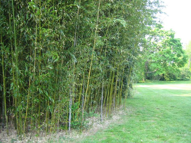 One of the most practical uses of bamboo is as a hedge or