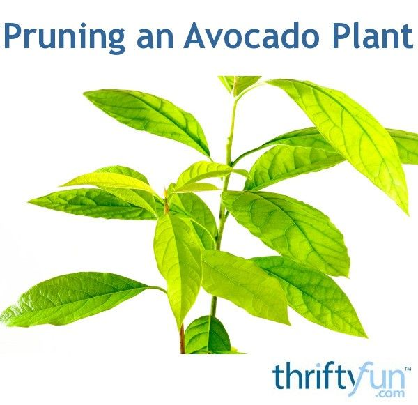 Keeping the height of a potted avocado tree under control requires careful pruning to increase fullness and reduce overall height. This is a guide about pruning an avocado plant.