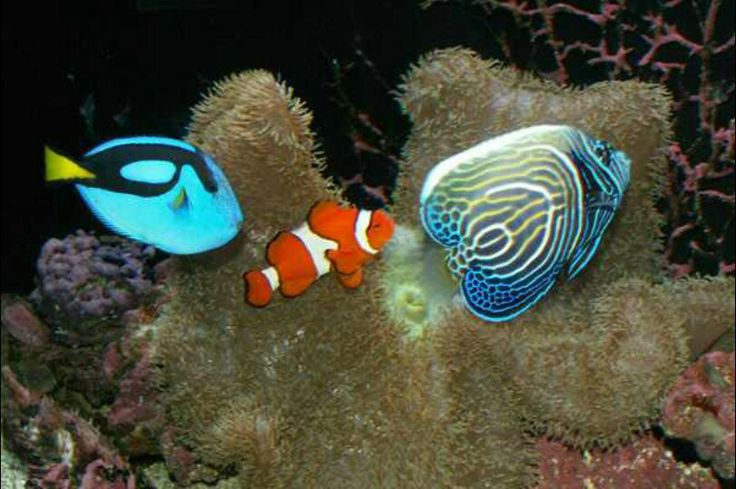 Blue hippo tang ocileros clown emperor angel under the for Blue clown fish