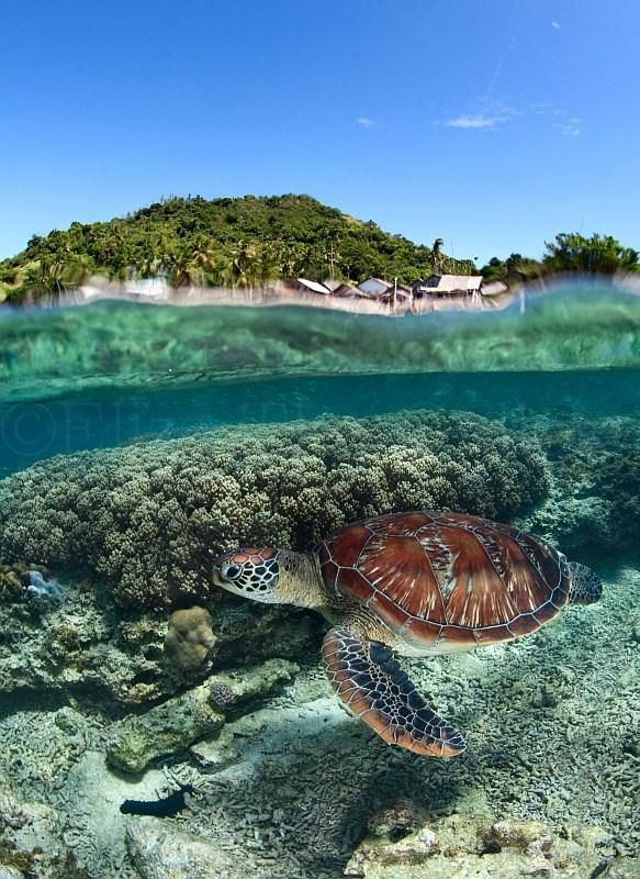 ANDREY MARCHUK - This is a amazing half-water photography of a turtle on a coral reef off the Philippines. To see more of Andrey's images please go to www.ElizaTheGallery.com