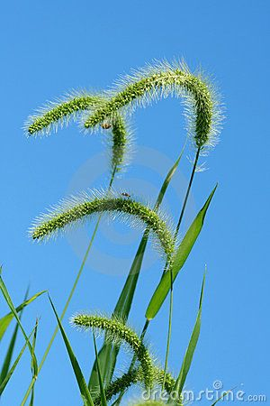 Giant Foxtail Weeds Against A Blue Sky