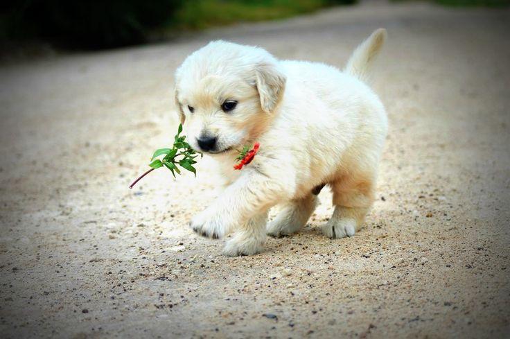 Golden Retriever puppy with a flower.