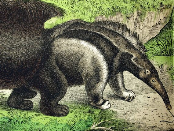 Large Antique Chromolithograph of an Anteater by ...