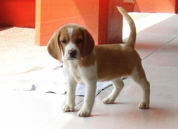 My 1st dog: a Beagle bicolor. <3