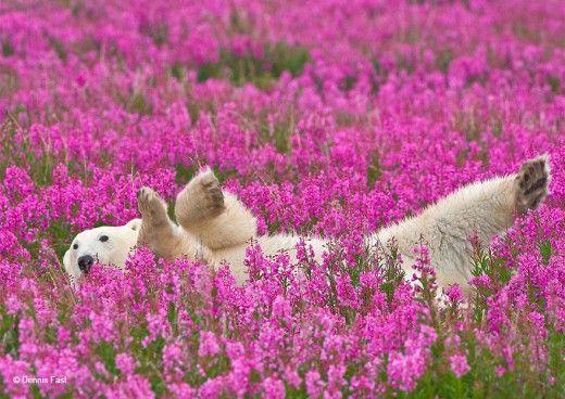 Ένας φωτογράφος απαθανατίζει δύο πολικές αρκούδες να παίζουν σε ανθισμένο λιβάδι