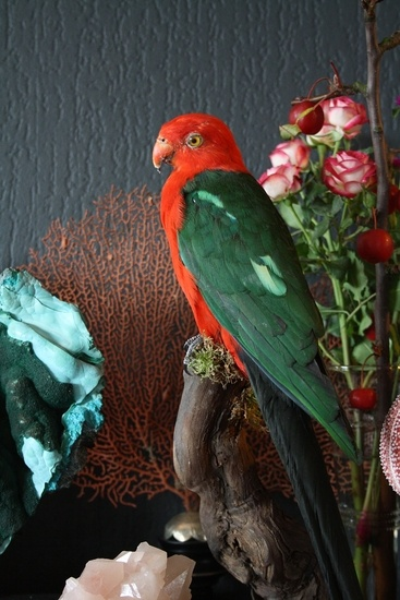 Opgezette Dieren: Opgezette Rode Groene Vogel (Koningsparkiet)