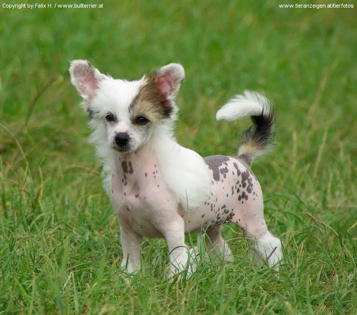 chinese+crested | Chinese Crested Hairless
