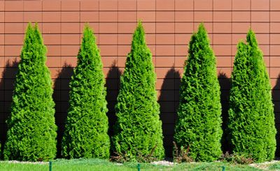 """Thuja Emerald Green, thuja occidentalis """"Emerald Green""""  Space-Saving Evergreen Hedge Only 4 ft. Wide Height: 8-12 ft. Width: 3-4 ft. Sunlight: Full - Partial Blooms: N/A Spacing: 3-4 ft."""