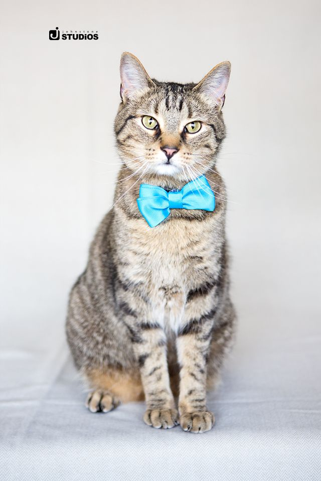 What a handsome boy! Show off your photogenic kitty with a simplistic studio photo session. Reno pet photography by Johnstone Studios