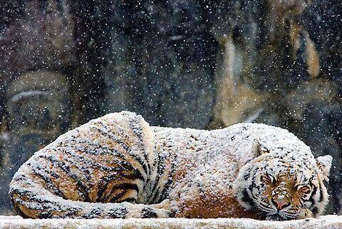 Immagine di tiger, snow, and animal