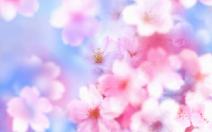 Cherry Blossom Wallpaper Gorgeous Wallpapers of Cherry Blossom Cherry Blossom Wallpaper Gorgeous Wallpapers of Cherry Blossom